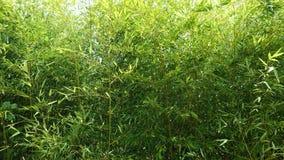 Stijgende mening door dicht gebladerte van Phyllostachys-bamboeinstallaties, 4K stock footage