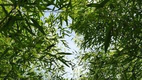 Stijgende mening door dicht gebladerte van Phyllostachys-bamboeinstallaties, 4K stock video