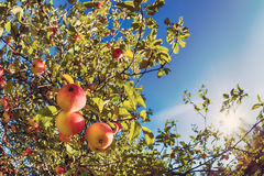 Stijgende mening van een appelboom tegen blauwe hemel Stock Foto