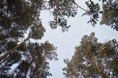 Stijgende mening van pijnbomen Stock Foto's