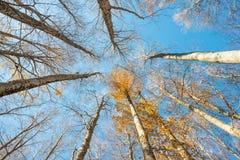Stijgende perspectiefmening van lange beukbomen en gele bladeren Stock Foto's