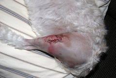 Stikt de Puppy en Staples na Chirurgie Royalty-vrije Stock Foto