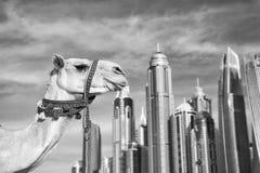 Stil för strand för marina JBR för UAE Dubai: kamel och skyskrapor arkivfoto