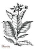 Stil för tappning för teckning för tobakträdhand royaltyfri illustrationer