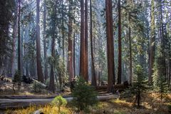 Stil Forest Giant Sequoia Redwood Grove en Forest Meadow met stock foto's