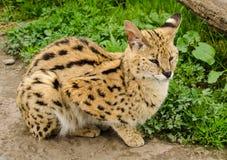 Stil Lynx stock foto's