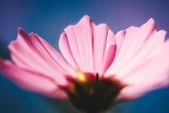 Stile dell'annata del fiore dell'universo Immagine Stock