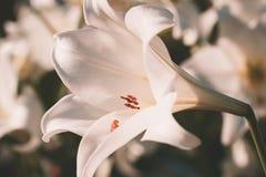 Stile dell'annata del giglio bianco Fotografia Stock Libera da Diritti
