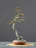 Stile di literati dei bonsai del larice in primavera Fotografia Stock Libera da Diritti