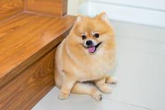 Stile di peli sveglio di scarsità degli animali domestici del cane di Pomeranian nella casa, foc selettivo Fotografia Stock Libera da Diritti