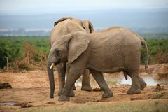 Stile di vita dell'elefante in Sudafrica Fotografia Stock Libera da Diritti