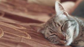 Stile di vita di sogno perfetto del gatto a strisce del gatto di sonno gatto che dorme nella coperta, fuoco selettivo Animale dom video d archivio