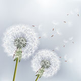 Stilfull blom- bakgrund med dandeli för två blommor Arkivfoto