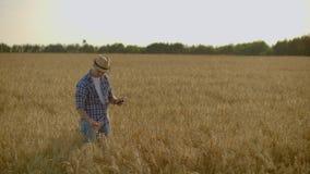 Stilfull gammal caucasian bonde som går i det guld- vetefältet på hans lantgård under morgonsoluppgången lager videofilmer