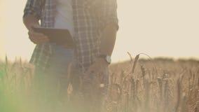 Stilfull gammal caucasian bonde som går i det guld- vetefältet på hans lantgård under morgonsoluppgången stock video