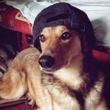 stilfull hund Arkivfoton