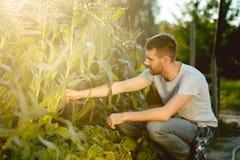 Stilig bonde i hans trettiotal som väljer havre på ett fält arkivfoto