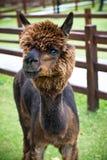 Stilig brun alpaca Arkivbilder