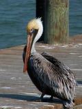 Stilig brun pelikan på skeppsdocka Arkivbild