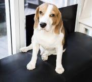 Stilig hund, beagle arkivfoton