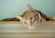 Stilig ljust rödbrun röd strimmig kattkatt som vilar på en bokhylla royaltyfria foton