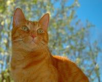 stilig orange solig tabby för kattdag Fotografering för Bildbyråer