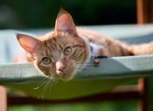 Stilig ung ljust rödbrun röd strimmig kattkatt som lägger på en grön trädgårds- stol som ser kopplad av royaltyfria foton