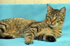 Stilig ung strimmig kattkatt arkivfoton