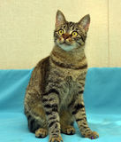 Stilig ung strimmig kattkatt royaltyfri fotografi