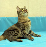 Stilig ung strimmig kattkatt Arkivfoto