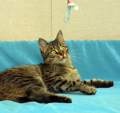 Stilig ung strimmig kattkatt royaltyfri foto