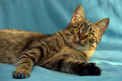 Stilig ung strimmig kattkatt arkivbilder