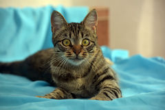 Stilig ung strimmig kattkatt Fotografering för Bildbyråer