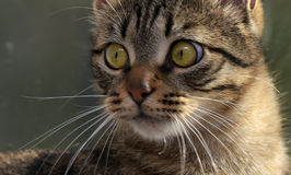 Stilig ung strimmig kattkatt royaltyfria foton