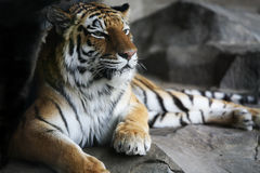stilig vilande tiger Royaltyfri Bild