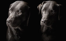 stiliga labradors två för choklad Arkivbild