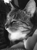 Stiliga manliga Tabby Cat royaltyfri fotografi