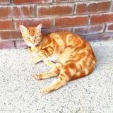 Stiliga orange Tabby Cat Fotografering för Bildbyråer
