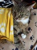 Stiliga Tabby Cat arkivfoto