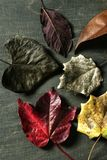 Still of autumn leaves, dark wood background Royalty Free Stock Photos