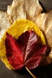 Still of autumn leaves, dark wood background, fall Stock Image