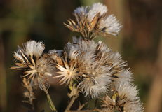 Still Beautiful Wildflowers. A group of dead wildflowers in fall that are still beautiful with their fuzzy, silvery white dry blooms and golden stems, against a royalty free stock photo