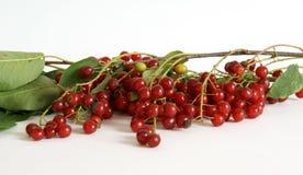Still, Bird Cherry (Prunus Padus) Stock Photography