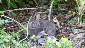 A Still Bunny Rabbit. This bunny rabbit thinks that if it stays still it won`t been seen hiding behind the weed stem stock image