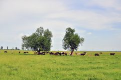 Still cow herd Stock Image