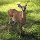 Still a fawn. Whitetail deer young enough to still have spots royalty free stock photography