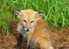 Still Foxy after all those years royalty free stock image