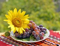 Still, grapes and sunflower Royalty Free Stock Image
