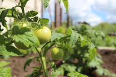 We still green. Bush with green tomatoes on the farm Royalty Free Stock Photo
