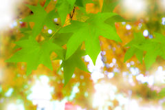 Still green fall leaves. Closeup photo of still green fall leaves on yellow, orange and red blurred leaves background. sun shining trough Royalty Free Stock Images